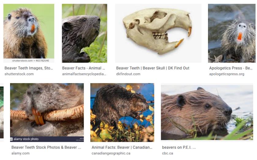 Screenshot_2019-10-04 Beaver front teeth - Google Search.png
